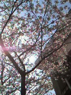 塀越しの桜